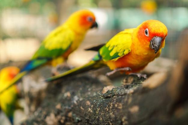Belle oiseaux de perroquet conure soleil coloré sur la branche d'arbre