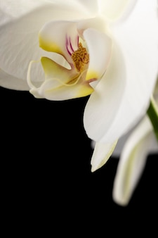 Belle orchidée blanche macro