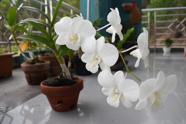 La belle orchidée blanche et rose dans la pêche aérée de dendrobium de jardin est diverse d'orchidée d'asie