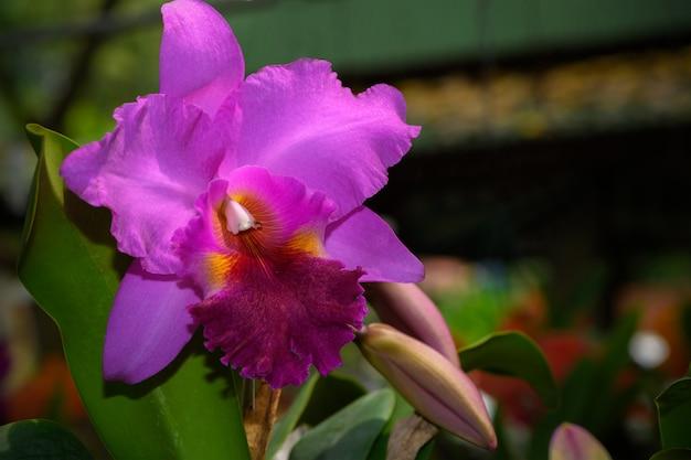 Belle orchidée fleur rose hybride cattleya