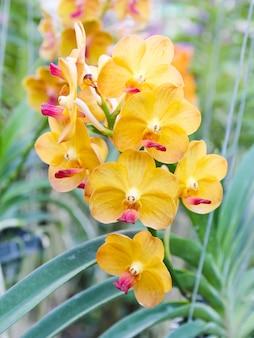 Belle orchidée jaune dans le jardin