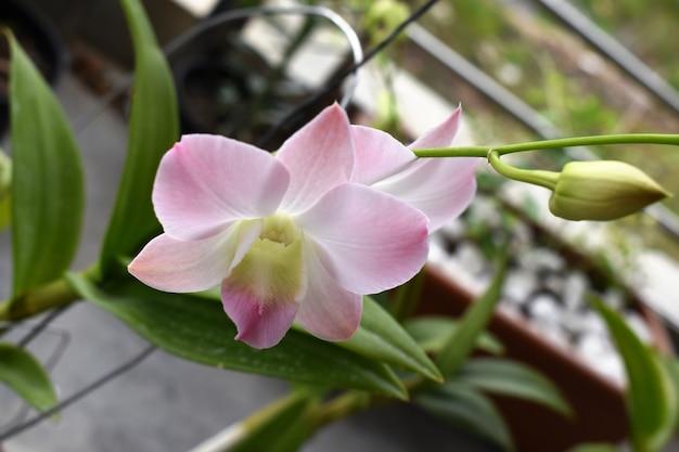 La belle orchidée rose dans la pêche aérée de dendrobium de jardin est diverse d'orchidée d'asie