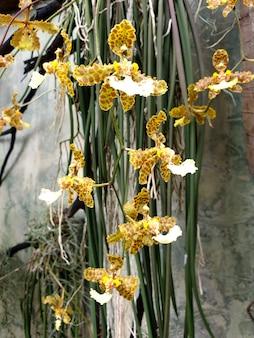 Belle orchidée tigre oncidium dans le jardin