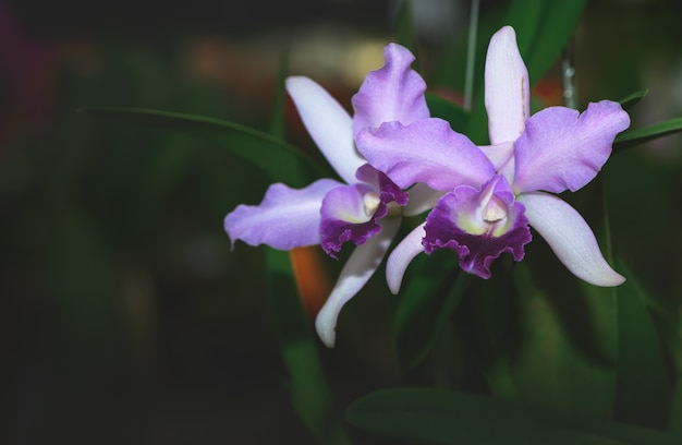 Belle orchidée violette hybride violette cattleya