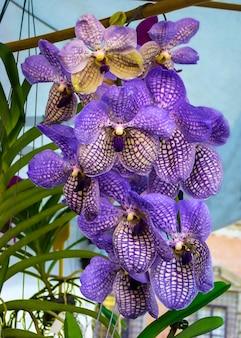 Belle orchidée violette vanda
