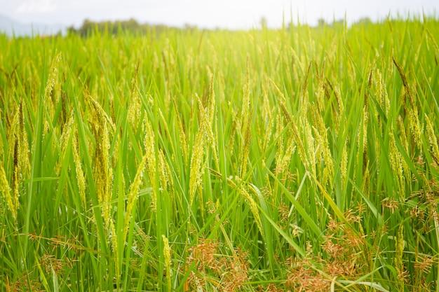 Belle oreille du riz au jasmin thaïlandais se bouchent.
