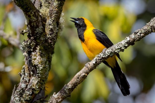 Belle oriole chantant d'un arbre