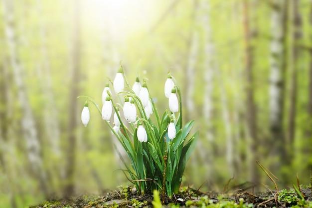 Belle perce-neige de printemps blanc close-up dans une forêt ensoleillée. temps de printemps.