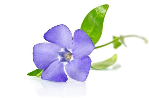 Belle pervenche bleue isolée sur blanc