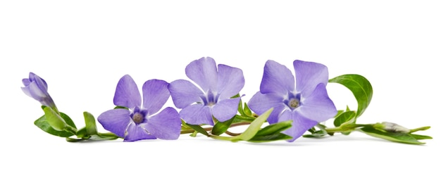 Belle pervenche fleur bleue isolé sur fond blanc