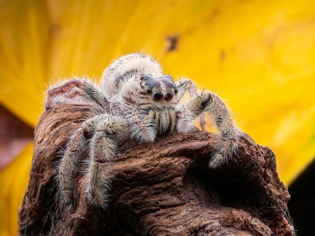 Belle petite araignée sauteuse avec fond coloré de macrophotographie.