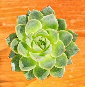Belle petite plante, succulente dans un petit pot de fleur