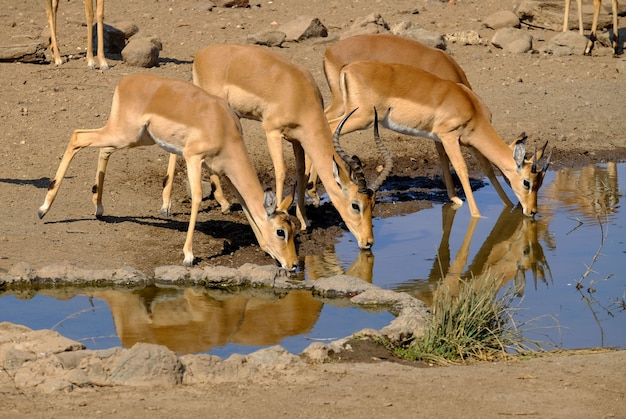 Belle photo d'antilopes buvant de l'eau d'un lac en safari