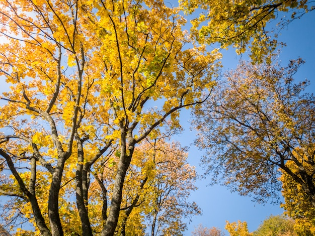 Belle photo d'arbres d'automne recouverts de feuilles jaunes et rouges en forêt contre un ciel bleu vif