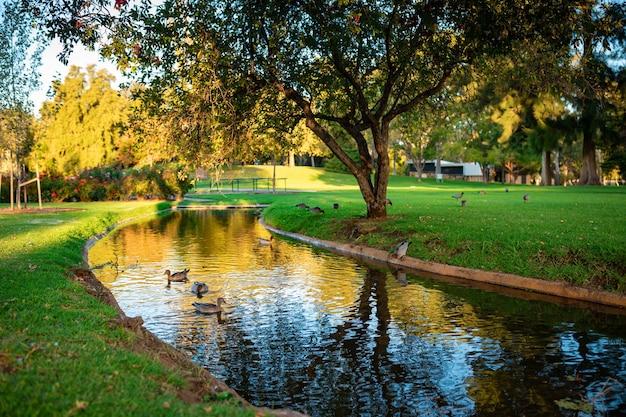 Belle photo de canards colverts mignons nageant dans une rivière