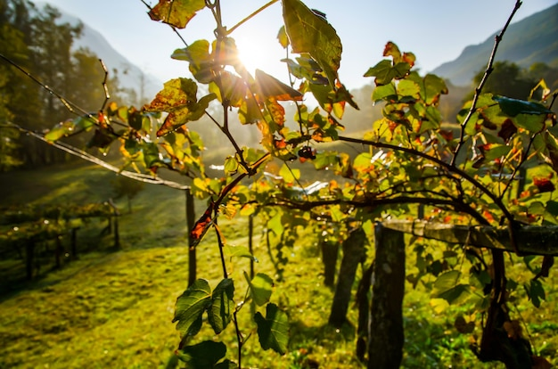 Belle photo d'un champ de vin sous la lumière du soleil en suisse