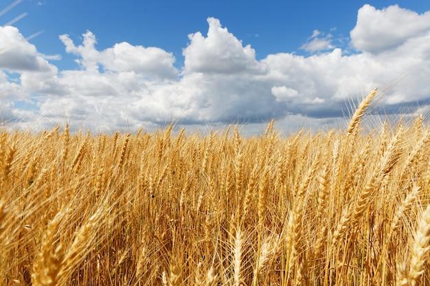 Belle photo d'un champ de whet avec un ciel nuageux