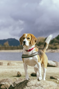 Belle photo d'un chien beagle mignon