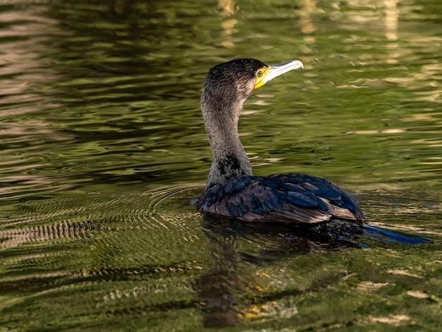 Belle photo de cormoran japonais nageant sur le lac dans la forêt d'izumi à yamato, japon