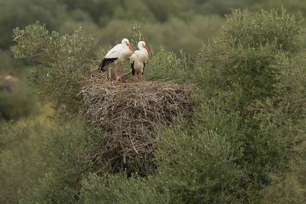 Belle photo de deux cigognes blanches debout gracieusement sur leur nid au sommet d'un gros buisson