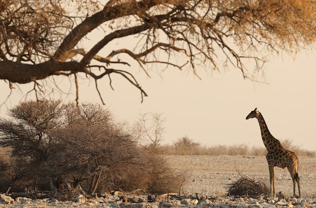 Belle photo dramatique d'un paysage de safari avec une girafe debout sous un arbre séché