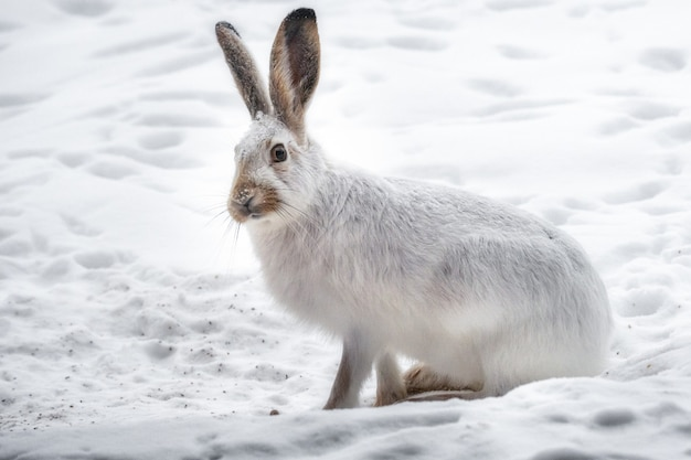 Belle photo du lapin blanc dans la forêt enneigée