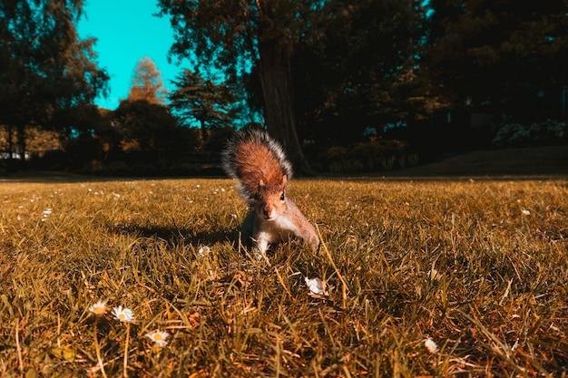 Belle photo d'un écureuil brun dans les champs