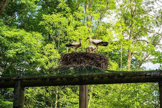 Belle photo d'une famille de cigognes blanches dans leur nid au printemps