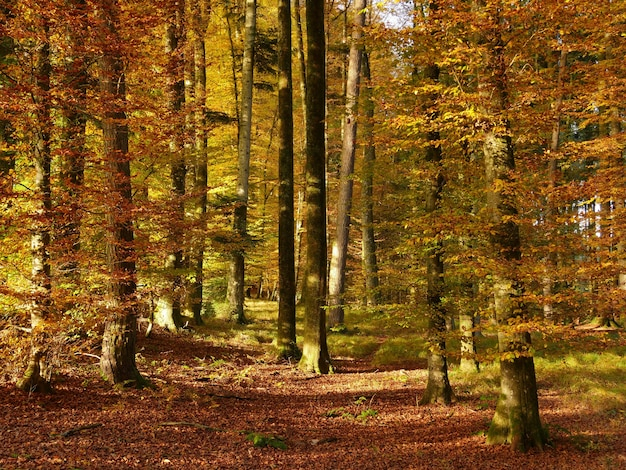 Belle photo d'une forêt automnale avec beaucoup d'arbres