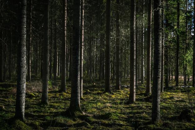 Belle photo d'une forêt avec de grands arbres verts avec le soleil qui brille à travers les branches