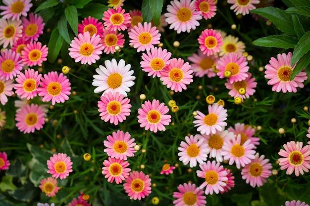 Belle photo à grand angle de marguerites roses dans un jardin sous la lumière du soleil