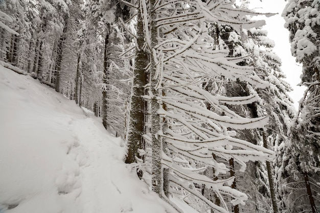 Belle photo d'hiver. épinettes hautes couvertes de neige profonde et de givre sur ciel clair. carte de voeux de bonne année et joyeux noël.