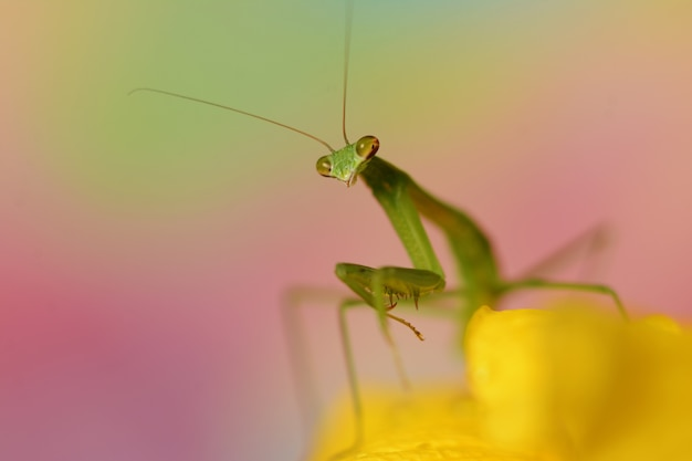 Belle photo macro d'une mante verte sur une fleur jaune