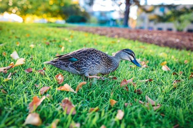 Belle photo d'un mignon canard colvert marchant sur l'herbe