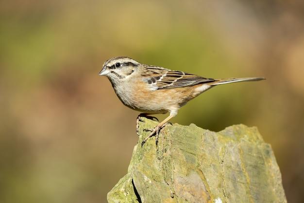 Belle photo d'un oiseau bunting rock perché sur une pierre dans la forêt
