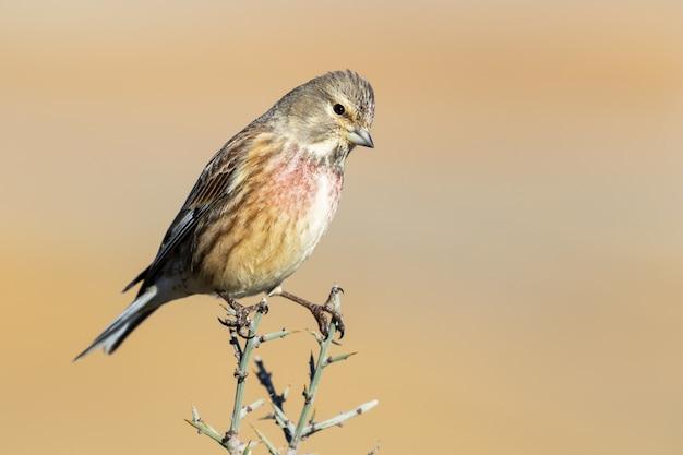 Belle photo d'un oiseau commun mâle linnet sur la branche avec un arrière-plan flou
