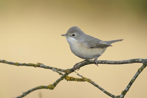 Belle photo d'un oiseau moucheron bleu-gris perché sur une branche d'arbre
