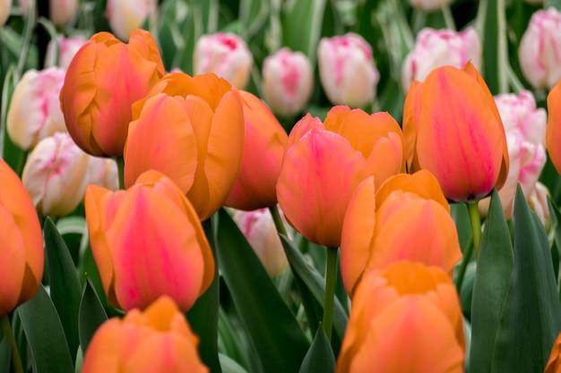 Belle photo des tulipes colorées dans le domaine par une journée ensoleillée
