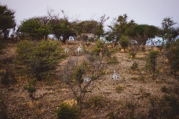 Une belle photo de zèbres marchant jusqu'à la colline
