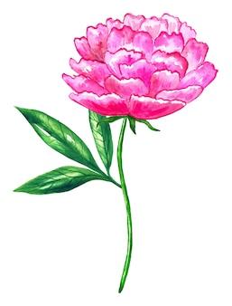 Belle pivoine rose vif. illustration aquarelle dessinée à la main. isolé.