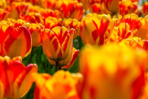 Belle plantation de champ de tulipes. culture commerciale de tulipes dans le jardin botanique