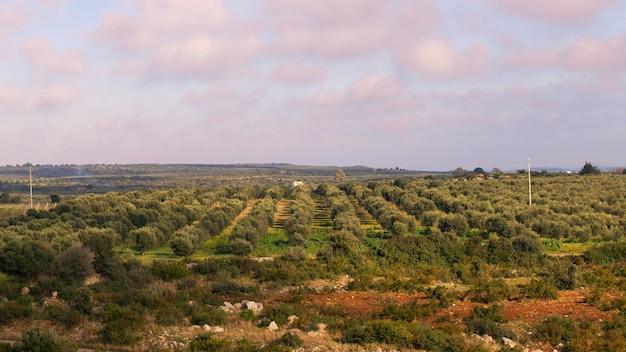 Belle plantation d'oliviers dans le salento, région des pouilles, italie, au-dessus de la vue, coucher de soleil