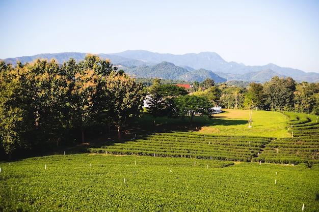 Belle plantation de thé vert le matin à chouifong tea plantation, province de chiang rai, thaïlande.