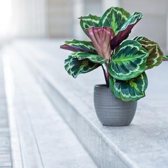 Belle plante calathea en pot d'argent