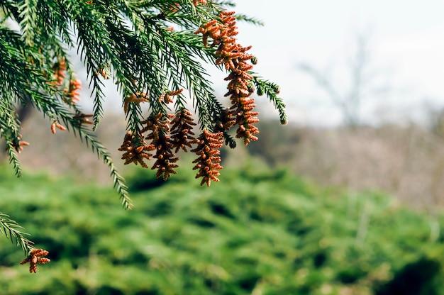 Belle plante de conifères au début du printemps
