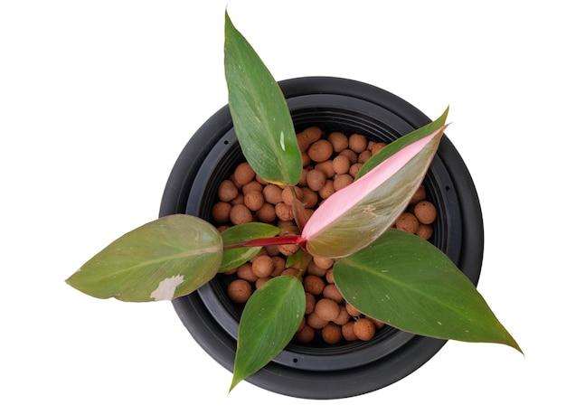 Belle plante d'intérieur panachée princesse rose philodendron avec demi-tache rose sur feuille verte isolée sur fond blanc comprend un tracé de détourage, mise à plat