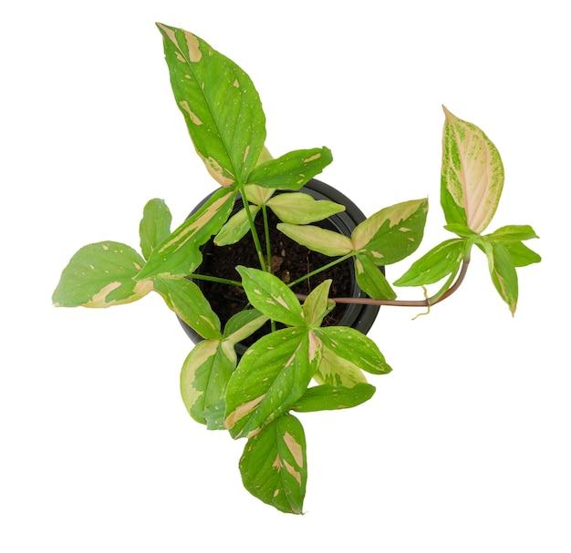 Belle plante d'intérieur panachée syngonium podophyllum avec des feuilles roses et vertes en pot noir isolé sur fond blanc, mise à plat
