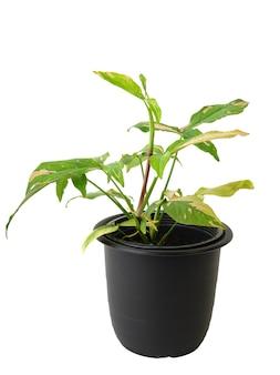 Belle plante d'intérieur panachée syngonium podophyllum avec des feuilles roses et vertes en pot noir isolé sur fond blanc