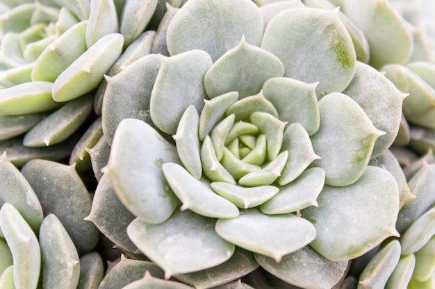 Belle plante succulente en serre. vue de dessus.