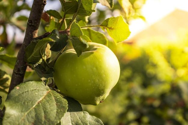 Une belle pomme naturelle pèse sur un pommier, des brindilles et des feuilles. pomme sur un arbre dans un jardin par une journée ensoleillée. tir extérieur coloré contenant un tas de pomme sur une branche prête à être récoltée.